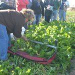 Mid1 Krouse FD 2015 greens harvester 727x485