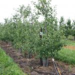 11. Johnson Buffalo Ridge FD maturing trees 727x485