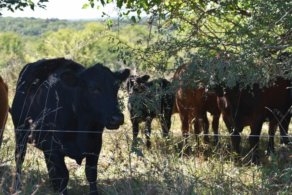 cow calf pairs grazing