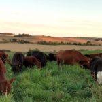 Schmidts cows grazing 727x350