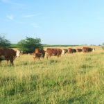 Cows on Bigelows pasture 727x485
