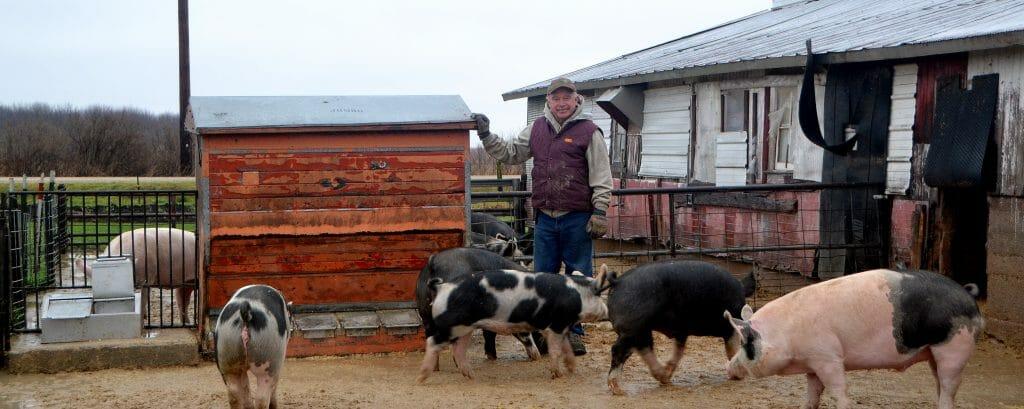 feeding hybrid rye in pig rations
