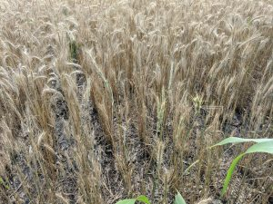 Close up of the VNS rye, showing the mixed levels of crop maturity