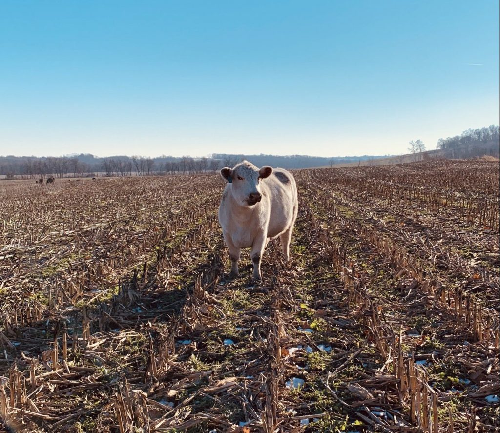 Cow standing in cover crop field