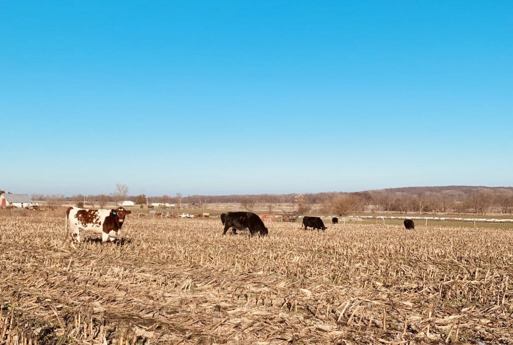 Cattle grazing cover crops