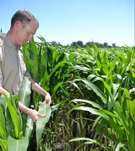 Male farmer stands in field of shoulder high corn holding a corn leaf between his hands. In the understory a green/brown rye crop languishes upright but no longer alive