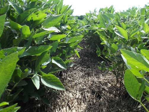 soybeans growing with rye residue controlling weeds