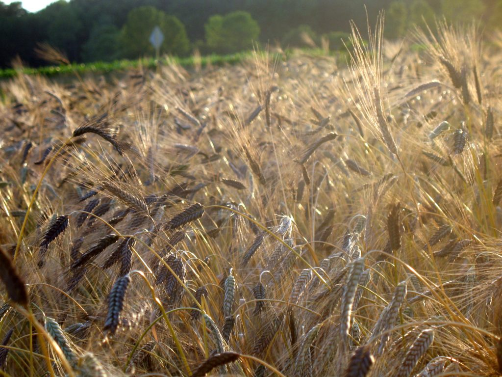 a field of black winter wheat ready for harvest