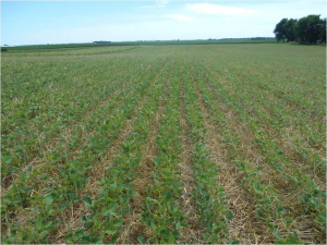 Soybeans growing with rye residue used for weed control