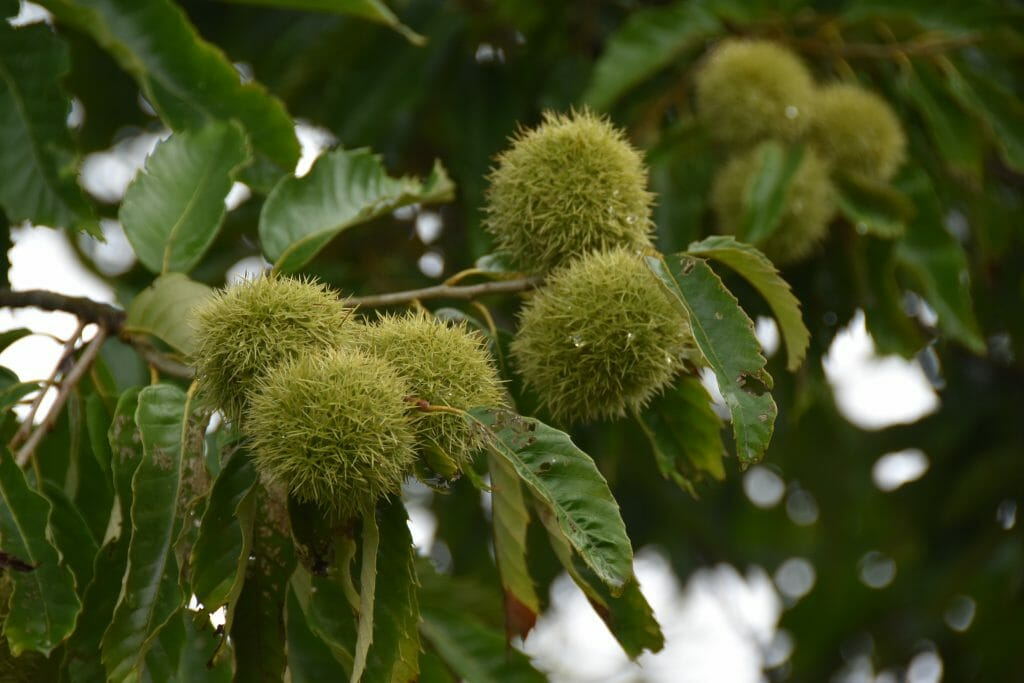 Chestnuts growing at Red Fern Farm