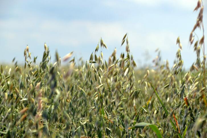 Oats, oat seed heads
