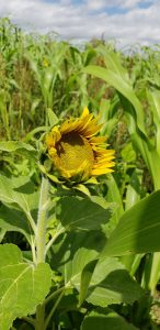 sunflower blooming in a summer cover crop mix following small grains