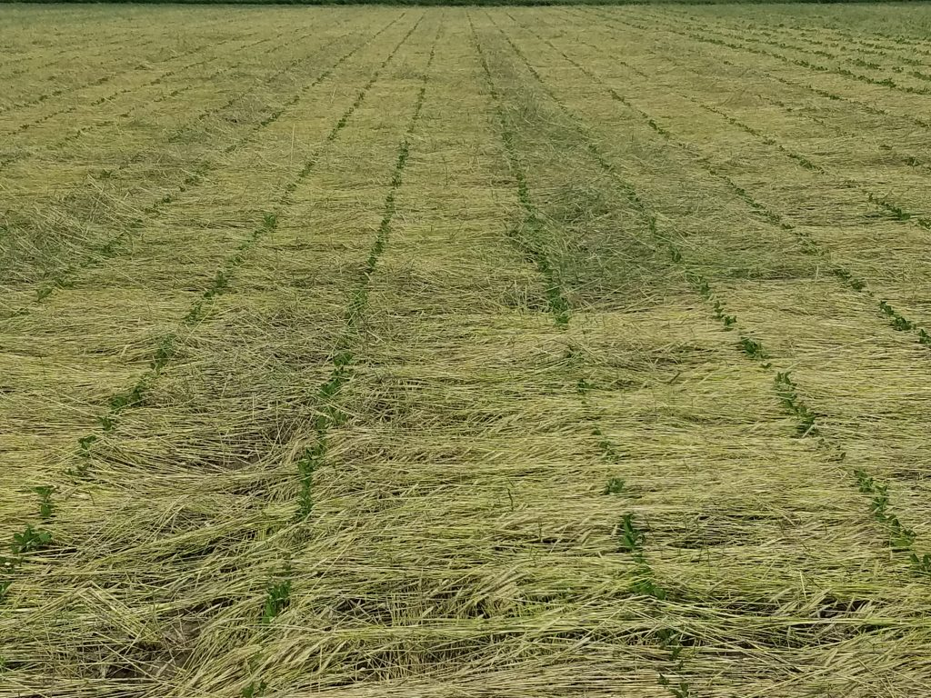 roller crimped soybean research row width cereal rye seeding date
