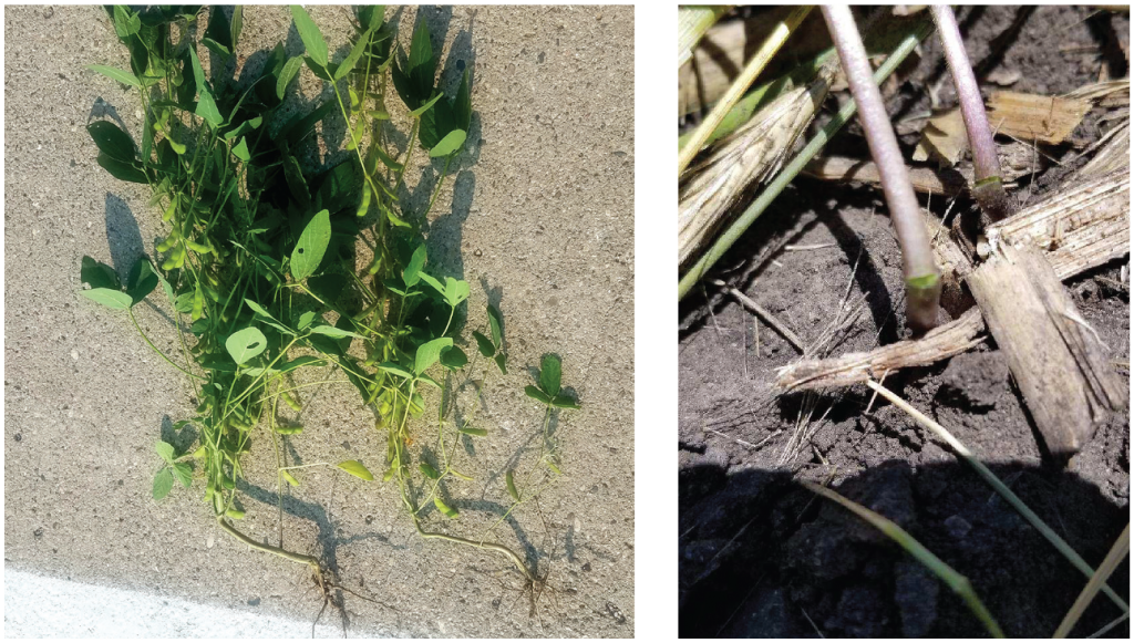 rolling-crimping soybeans stem damage at first trifoliate stage