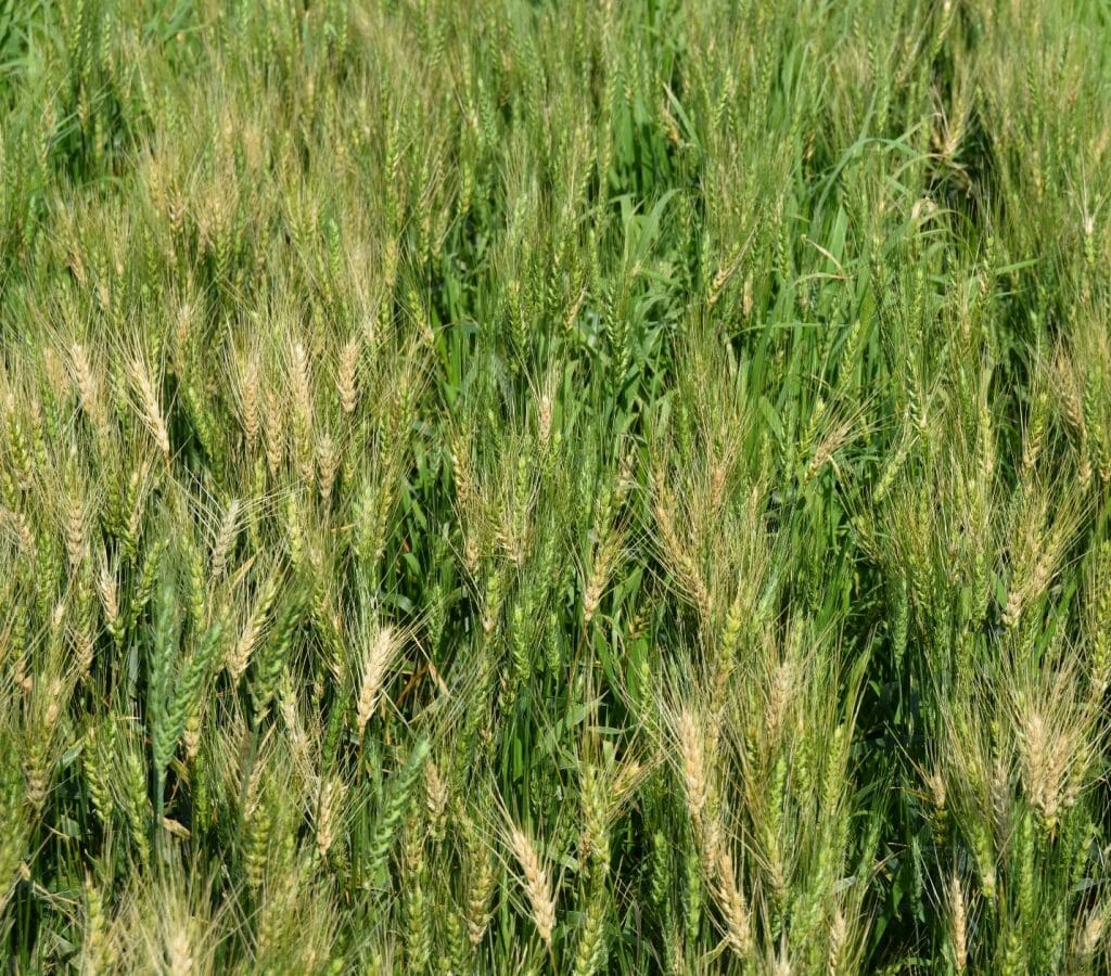wheat heads with fusarium head blight