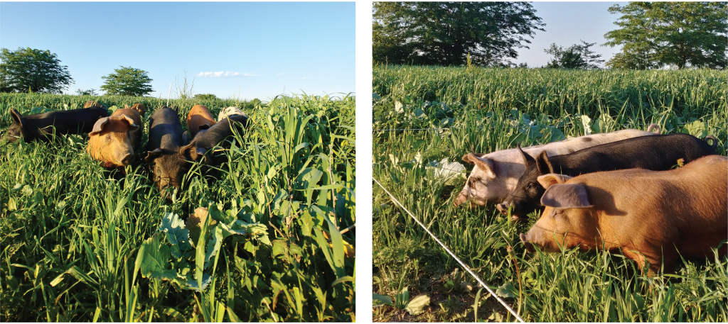 berkshire and hereford hampshire crosses foraging on orchard grass, red clover, pearl millet, and cowpeas grazing on rotational pasture