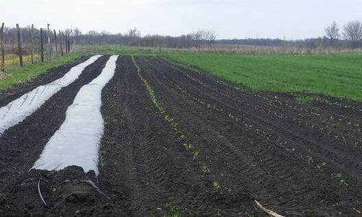 Strawberry research trial setup with biodegradable plastic and uncovered