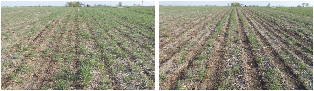 photo of corn using strip till versus no till following a cover crop
