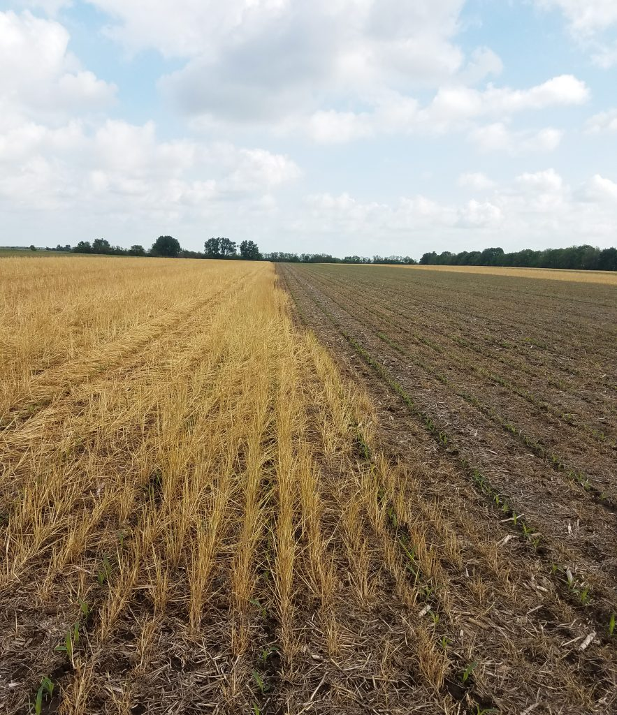 Cereal rye termination date ahead of corn planting date