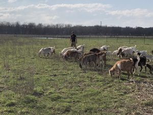 Adam Ledvina goats