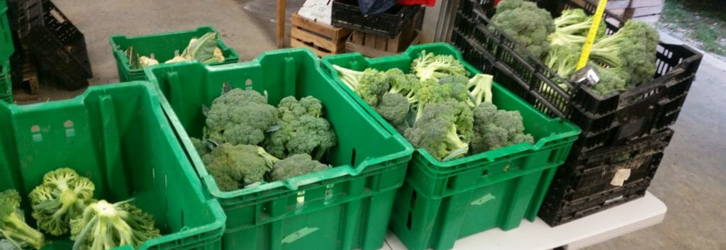 broccoli harvested and ready for measurement research grazing with sheep