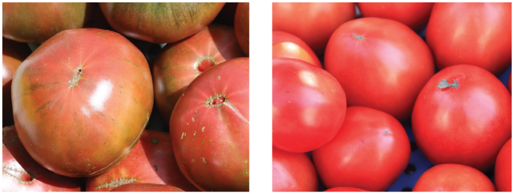 High tunnel tomato two panel