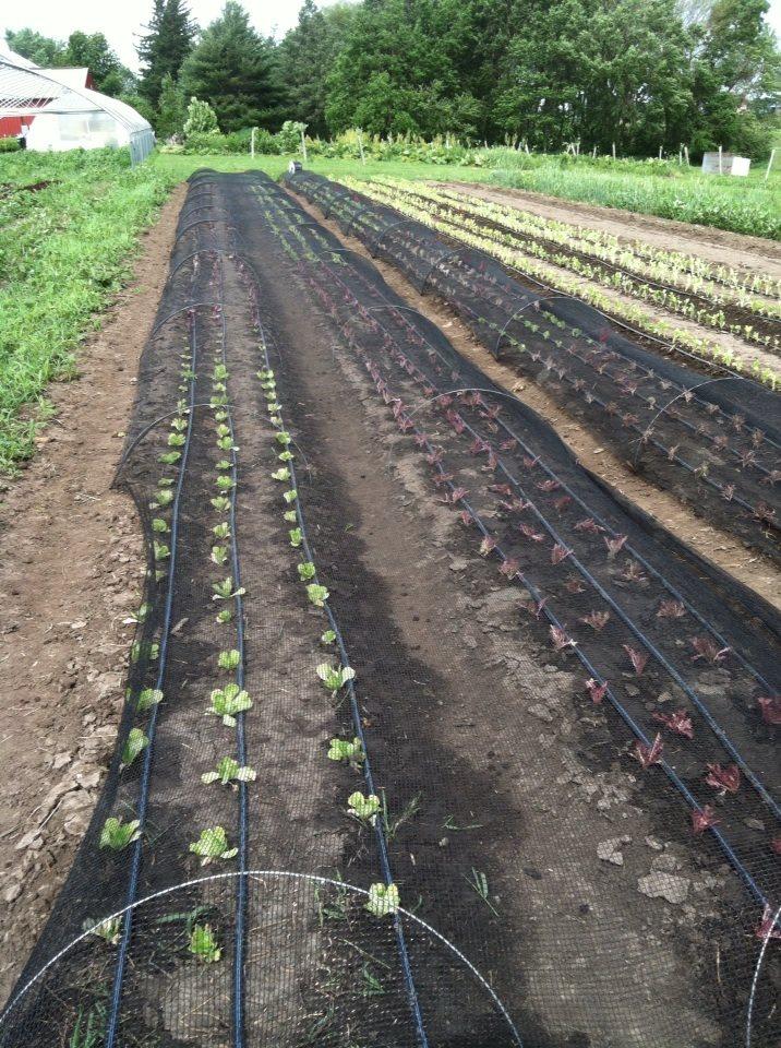Scheibel shade cloth lettuce Jun 2018
