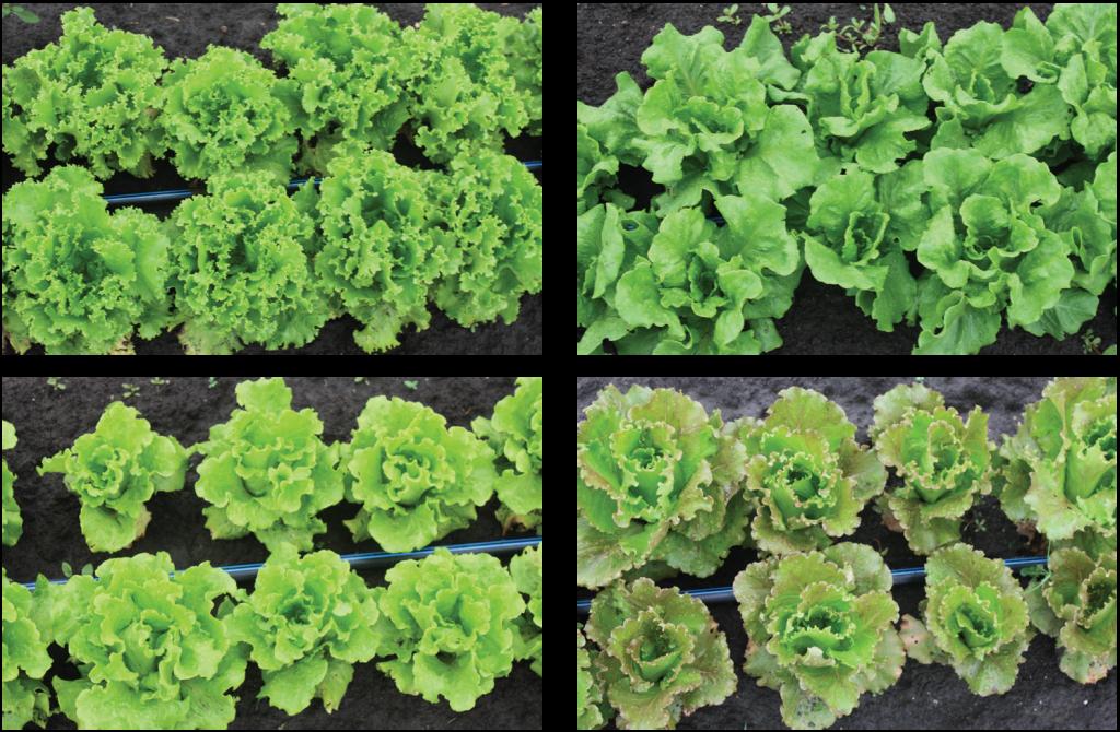 Summer lettuce trial photo four varieties