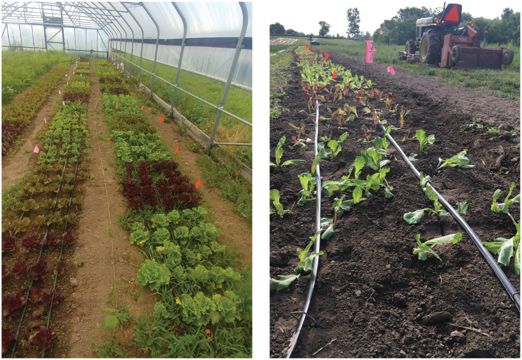 Summer lettuce variety trial photo two panel