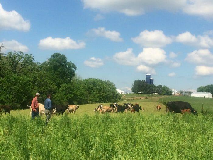 Francis Blake cattle pasture waukon dairy cattle apple cider vinegar