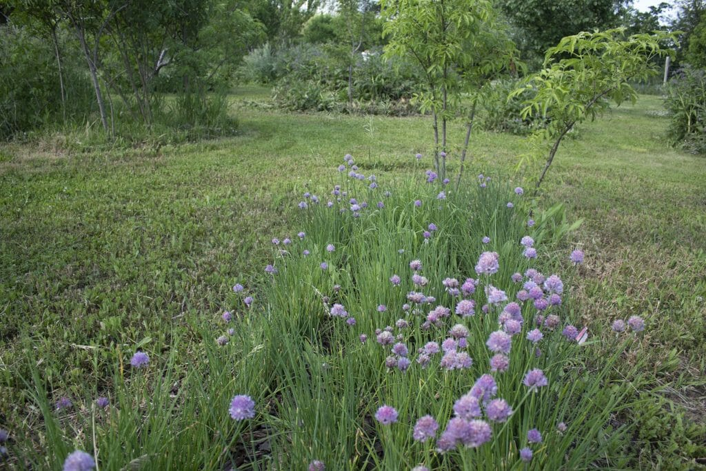 chives and elderberry