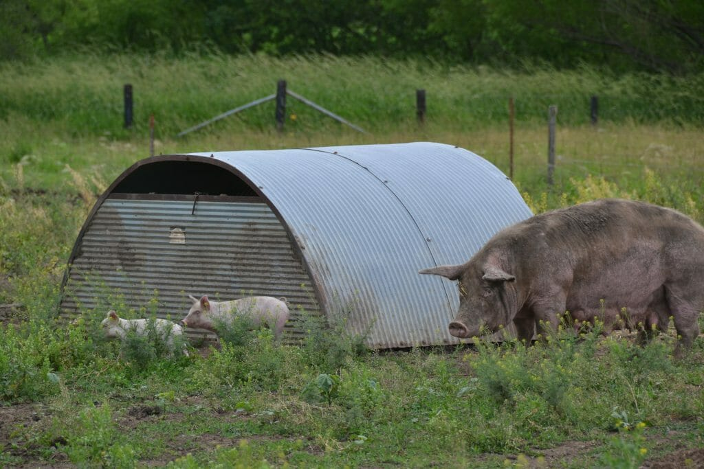 piglets and sow on pasture based pork production system