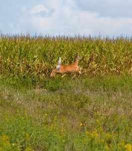 Deer runs through prairie planting next to corn field on Peckumn farm (1)