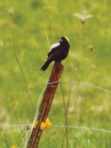 Bobolink male on fence post at Specht, Damm farm
