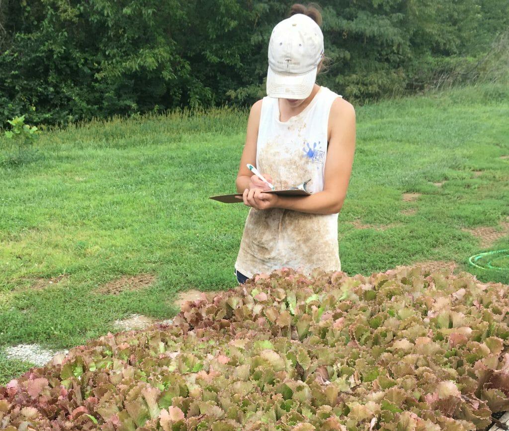 lettuce seedling  evaluation on farm research lettuce germination