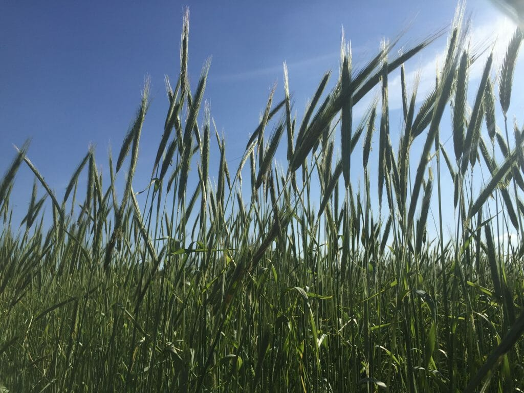 rye breaking up pest cycles