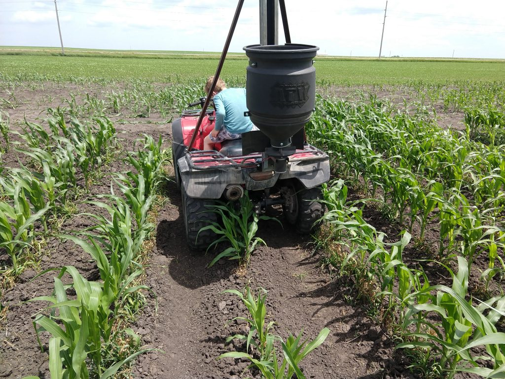 Interseeding seed corn