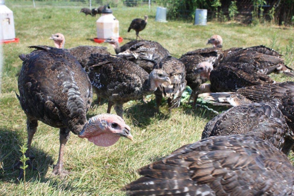 pastured turkeys look for food