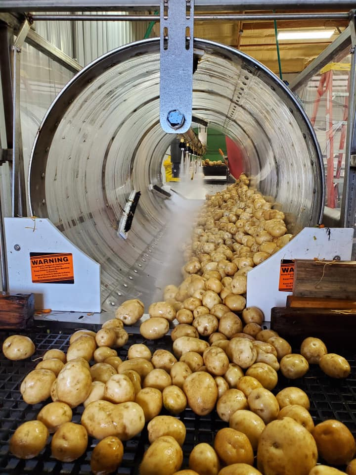 Potatoes getting washed on farm post harvest