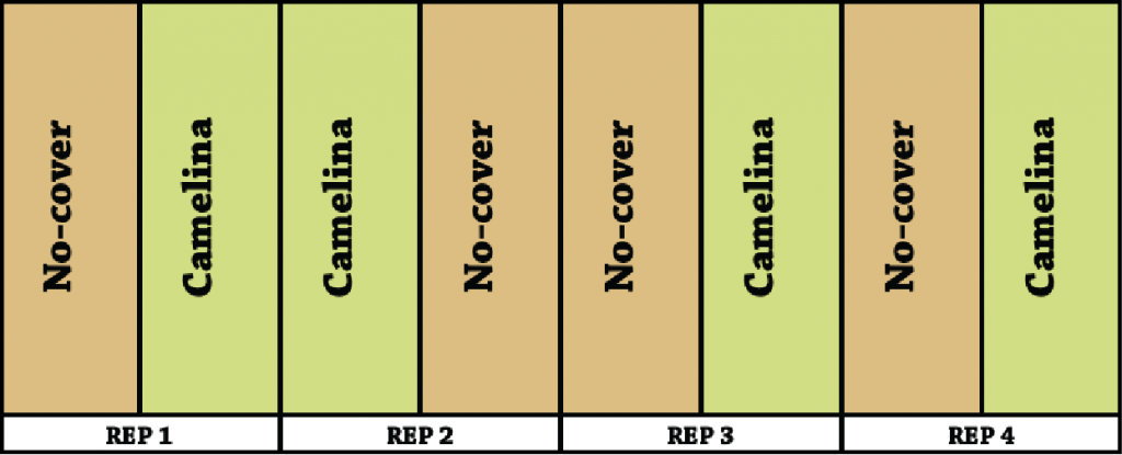Camelina cover crop experimental design