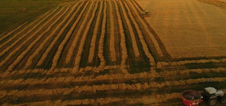 hybrid rye harvest