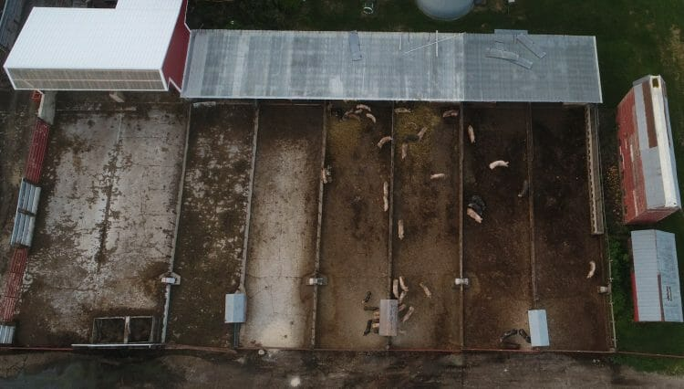 pig pens hybrid rye trial feeding hogs