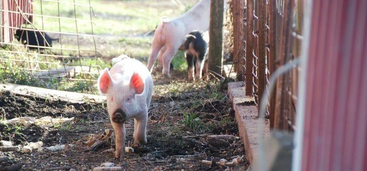 Feeding hybrid rye to grow finish pigs