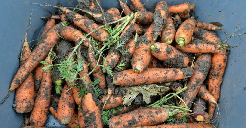 Wesselius FD2018 carrots