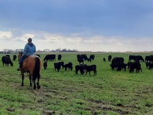 Bill Frederick checks on cow calf pairs grazing spring rye in Jefferson IA 768x554