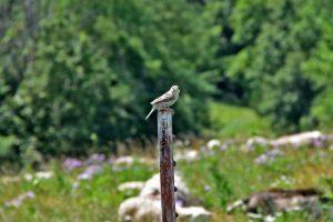 Bobolink bird grassland