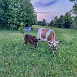 Cattle grazing at Uncle G's Farm