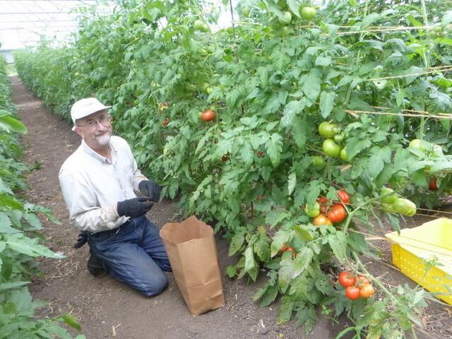 Tim Landgraf with tomato trial