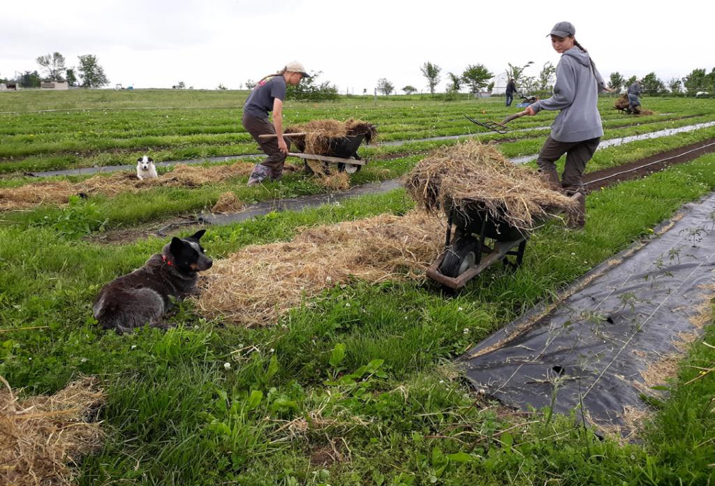 Landscape fabric vs. straw mulch photo