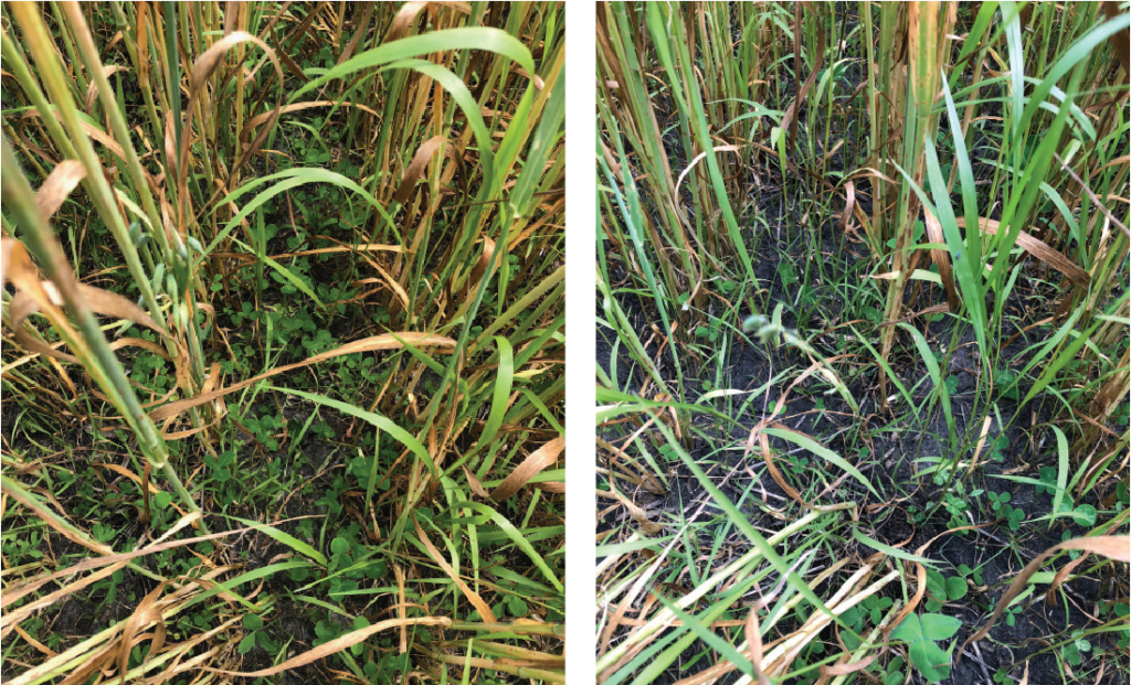 Weed control in oats photo 2